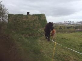 Icelanic ponies at Árbæjarsafn